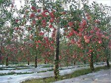 15 Fuji Apple Tree seeds (Malus pumila 'Fuji') CombSH