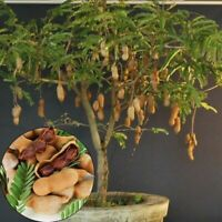 Grafted Tamarind Tropical Tree Plant LIVE EXOTIC FRUIT 2'- 3'