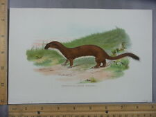 Rare Antique Original VTG 1897 Ermine or Large Weasel Color Litho Art Print