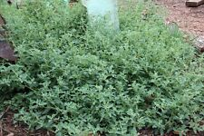 Creeping Saltbush Seed Drought/Frost Hardy Good Groundcover DroughtFrostSalt OK