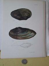 Vintage Print,CLAMS,Pl 17,Zoology,DeKay,Mollusca,1843