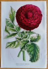 van Houtte Garden Flowers Dahlia Empereur Francois Joseph 1853 (NS)