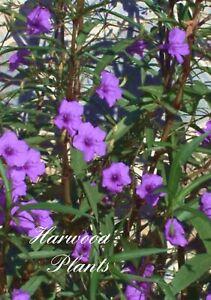 "Purple Mexican Petunia/ Ruellia 20 Cuttings 7"" Tall . No Roots"