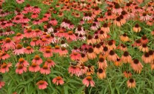 ECHINACEA CONEFLOWER RED IN SHADES 60 SEEDS PERENNIAL FLOWER