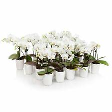 Just Add Ice J-429 Mini White Orchids Perfect Gifts for Weddings Baby Showers.