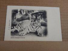 Postcard Tiger At Antwerp Zoo Belgian  Card unposted