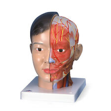 3B Scientific Deluxe Head with Neck with Brain, 4 part Anatomical Model Anatomy