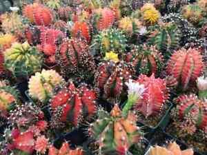 100 Fresh Seeds Mix Variegated Gymnocalycium Cactus #1