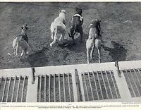GREYHOUND RACING AT HARRINGAY PARK OLD ORIGINAL 1934 DOG PRINT