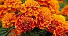 Flower Seeds Marigold Carmen For Bee Slugs Bedding Garden Pictorial Packet UK