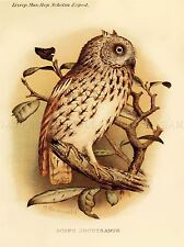 PAINTING BOOK PAGE NATURAL HISTORY SOKOTRA FORBES SCOPS OWL ART PRINT LAH362A