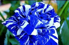 10 Blue Dragon Rose Seeds Garden Gift White Flower Rare Premium Striped Garden
