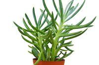 "Succulent Senecio Serpens 'Blue Chalk' / 4"" Pot / Live Home and Garden"