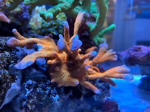 Forest Fire Green Red Montipora SPS Coral Frag *Other Corals* *Combine Postage*