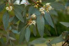 Eucalyptus citriodora (20 graines/seeds )