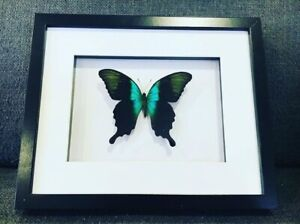 Framed butterfly,  papilio Peranthus  , insect taxidermy