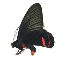 Unmounted Butterfly/Papilionidae - Atrophaneura dixoni, male, Indonesia, A1/A-