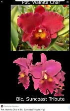 Rlc. Walnita Char 'Big Red' X Rlc. SunCoast Tribute Orchid Plant