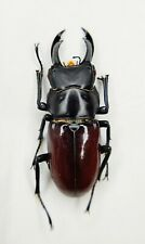Lucanidae, Dorcus sp, 39.5mm, A2, China