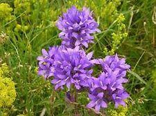 Bellflower- Cluster (Campanula Glomerata Acaulis)- Violet- 100 Seeds