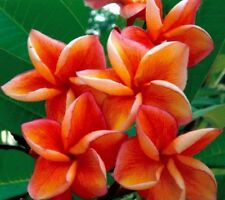 5 Orange Plumeria Seeds Plants Flower Lei Hawaiian Perennial Seed Garden 648
