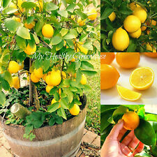 "SEEDS – Self-pollinating Dwarf Meyer Lemon ""Citrus meyeri"" Indoor Outdoor Tree!"