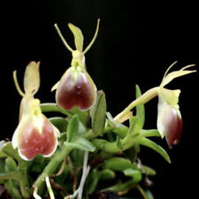 Epidendrum Porpax Mounted Bloom size