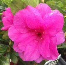 HAPPY DAYS Azalea medium double hose-in-hose light purple flowers plant 140mm