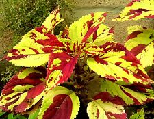 COLEUS MOSAIC Spotted Patterned Unique! Shade Colorful Large Mosiac 20 Seeds