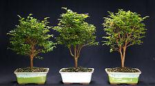 Jaboticaba Indoor Bonsai Tree Tropical Bonsai Tree Jmc0414