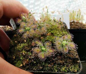 Drosera Roseana, fleischfressende Pflanzen,pygmy sundew