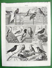 BIRDS Oriole Redwing Staarling - SUPERB Antique Print Engraving