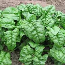 25+ SPINACH Giant Noble Seeds   NON-GMO   Fresh Vegetable Garden Seeds US SELLER