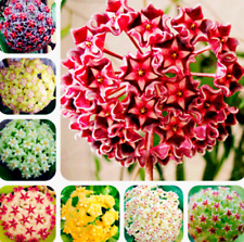 100 Pcs Seeds 24 Color Orchid Ball Flowers Plants Hoya Carnosa Bonsai Garden New