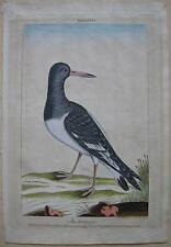 Austermann Haematopus Ostralega kolor Orig Kupferstich Wirsing 1775 Ornithologie