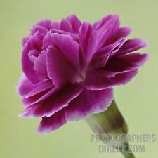 50 MAGENTA CARNATION Dianthus Caryophyllus Chabaud Flower Seeds *Comb S/H