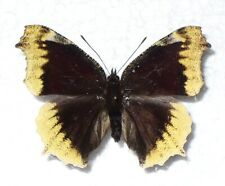 Butterfly/Moth Nymphalis antiopa - Camberwell Beauty – aberration from Poland
