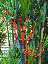 Chamaedorea seifrizii Bamboo Palm Reed palms ornamental home plant seed 25 seeds