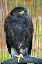 More details for harris hawk parabuteo unicinctus bird of prey portrait photograph picture print