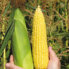 Seeds Corn Delicacy Sugar Sweet Giant Vegetable Organic Heirloom Russian Ukraine