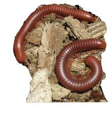 100 Live Florida Rusty Millipede, Fun Educational Pet's, Amazin Garden Composter
