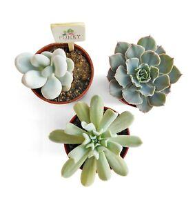 Echeveria Pachyphytum Evergreen Succulent House Plants - Set of 3
