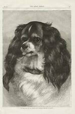 CAVALIER KING CHARLES SPANIEL HEAD STUDY LOVELY ANTIQUE 1890 ENGRAVING DOG PRINT