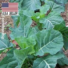 Georgia Southern Collard Green - 500 Seeds - Non-Gmo Heirloom Usa