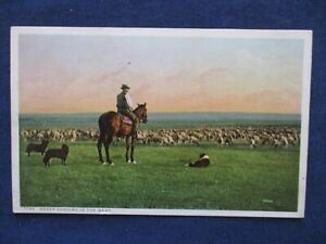 1910s Cowboy Herding Sheep in the West Detroit Publishing Co Postcard