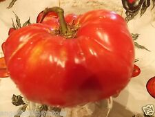 """Florida Pink Heirloom Tomatoes Seeds""""Organic """"A Very Large Tomato"""""""