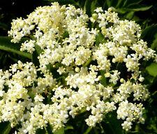 BUTTERFLY WEED WHITE Asclepias Incarnata - 200 Bulk Seeds