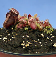 CEPHALOTUS FOLLICULARIS Albany carnivorous Pitcher Plant; v. large dark red type