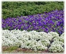 Alyssum maritima  Carpet Of Snow Dwarf white. Compact bedding plant flower 0.5g