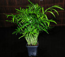 """Neanthe Bella Palm Tree in 3"""" Pot Parlor Palm Tropical House Plant SUPER EASY!"""